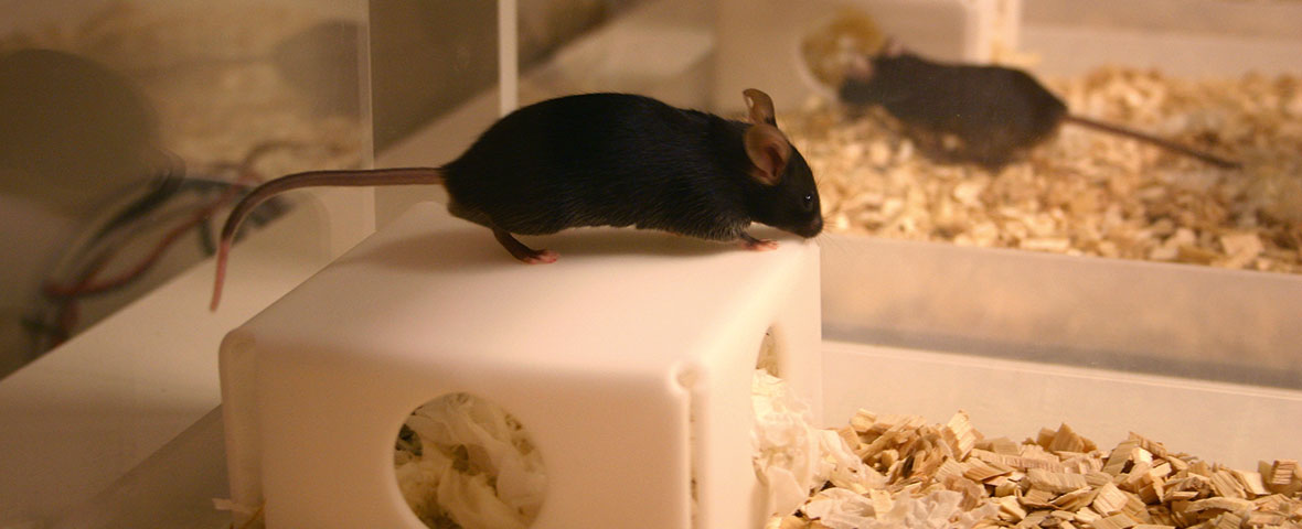 Black mouse on shelter in PhenoTyper