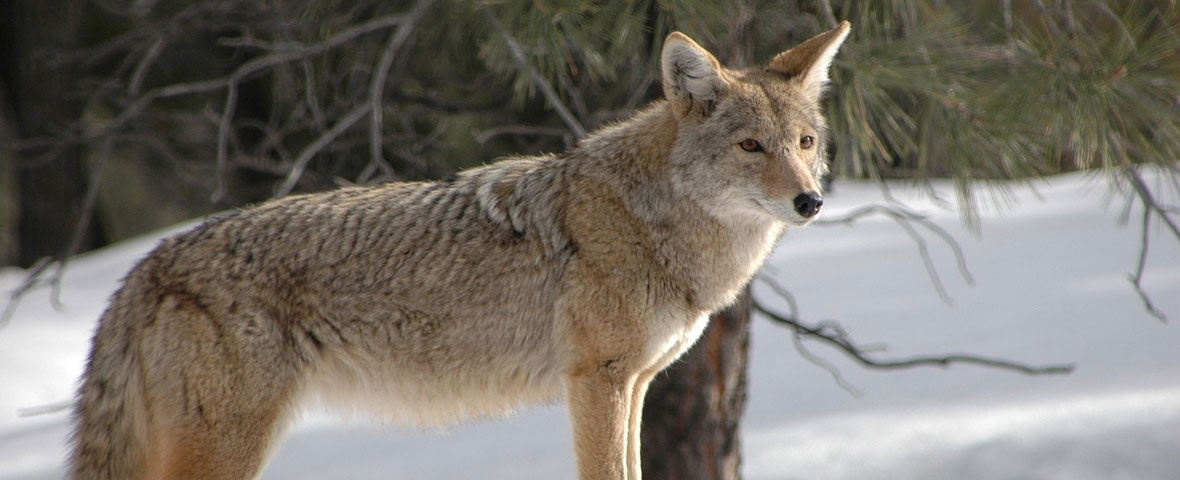 Foraging in coyotes