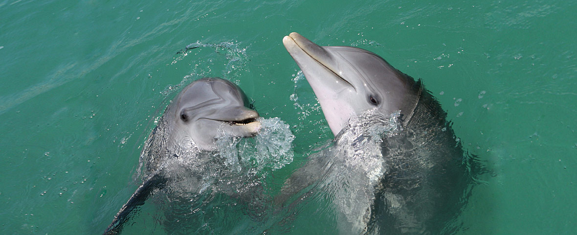 interspecific aggression spotted dolphins vs bottlenose dolphins