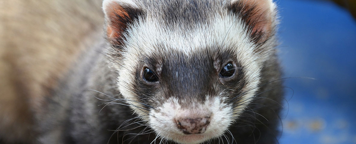 Video-tracking ferrets