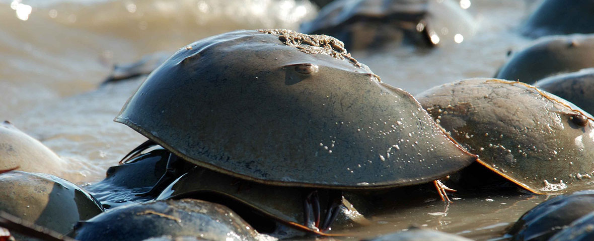 Horseshoe crabs video tracking