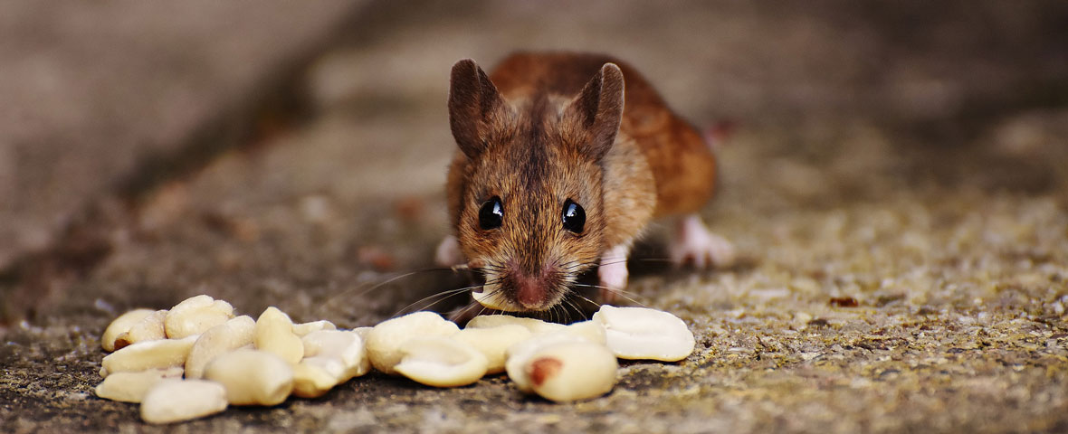 eating behavior mice