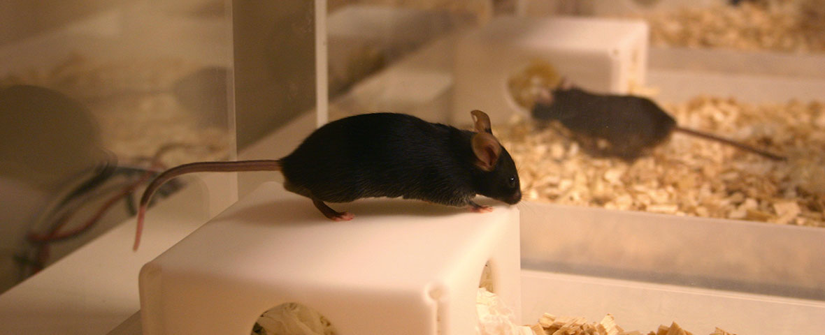 Mouse on shelter in PhenoTyper
