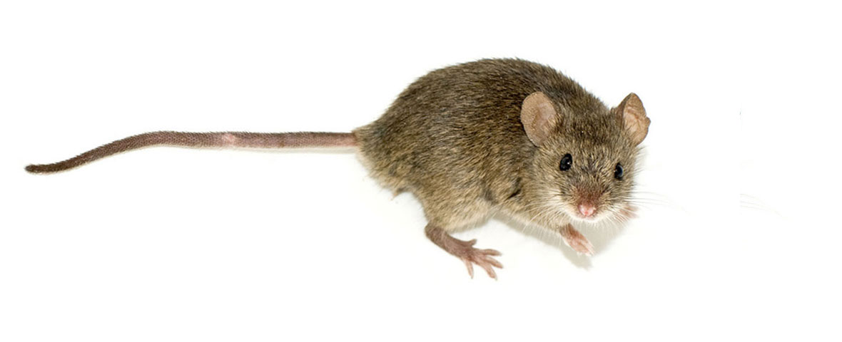 Brown mouse with outstretched tail
