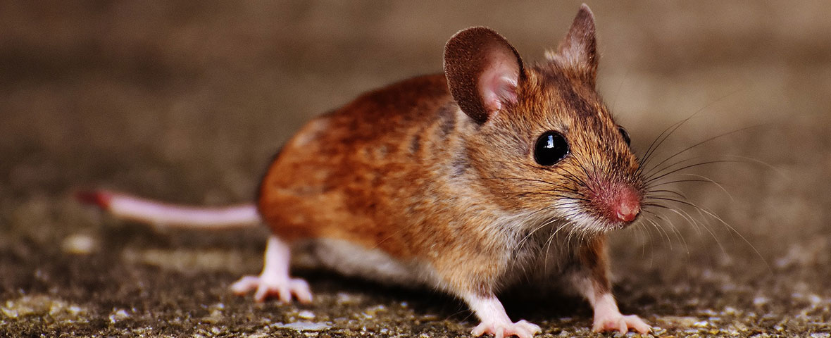 Male or female mouse?