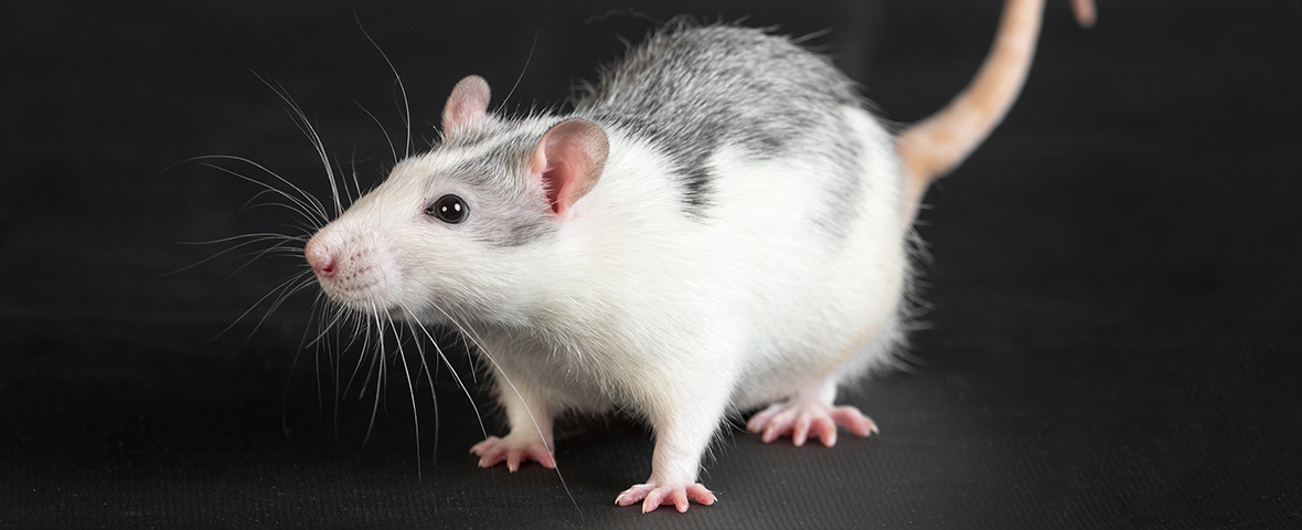 Spotted rat