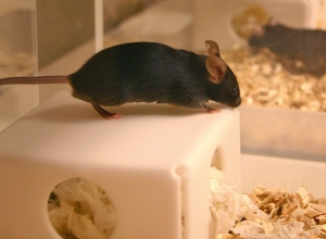 Why it is smart to test your animal in its home cage
