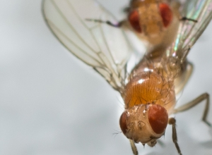 Mating fruit flies
