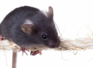 Assessing motor deficits in mice
