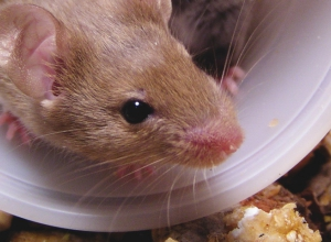 Aggresive behavior in mice
