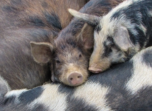 Pigs on a pile in the mud