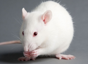 A new model for POCD in rats