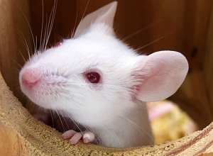 white mouse obesity research