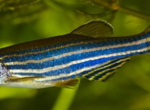 Zebrafish research: growing demands in South America
