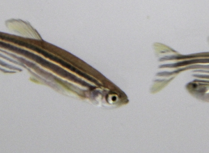 Zebrafish tracking