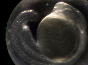 zebrafish embryo danioscope coiling behavior