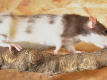 White and brown rat walking on a branch