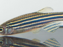 zebrafish down syndrome gene autism