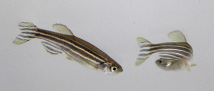 zebrafish video tracking research anxiety and stress behavior