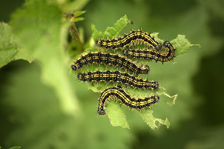 caterpillar insect research