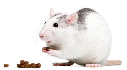 magnetogenetics eating rat