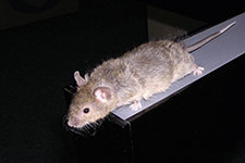 Rodent research