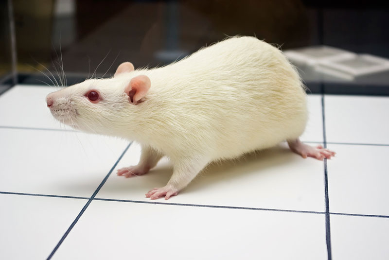 video tracking rats open field