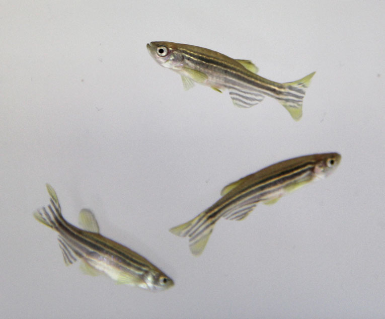 DanioVision strain differences zebrafish