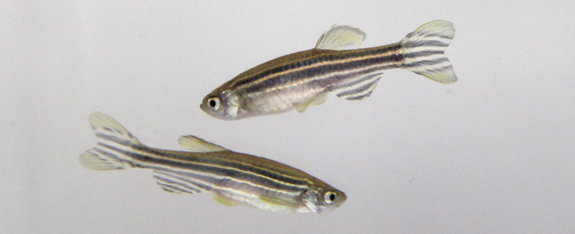 How to measure a zebrafish larva's highly stereotyped response to water motion?