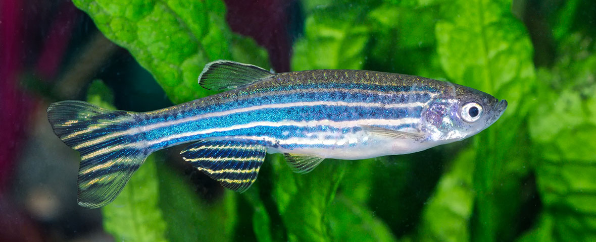 Parkinson's research with zebrafish
