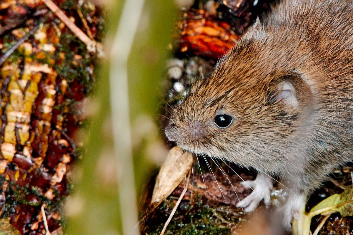 bank vole in nature