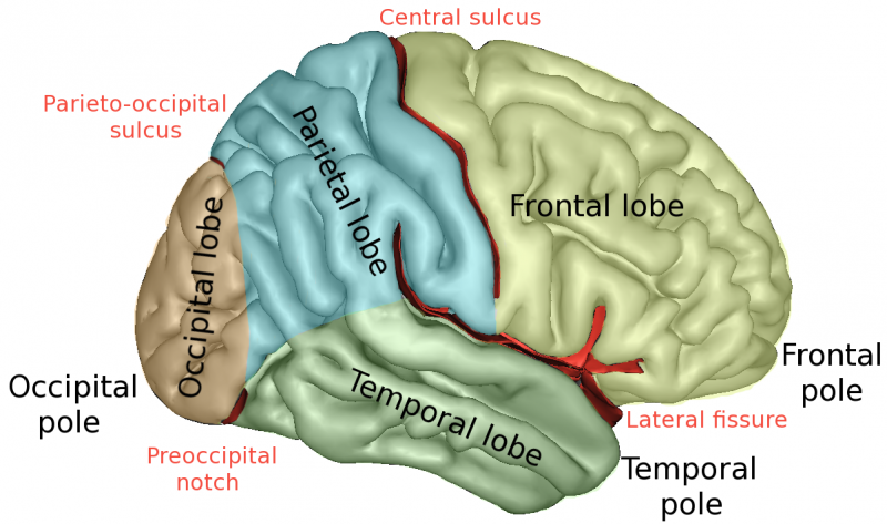 Brain Lobescaptslateral