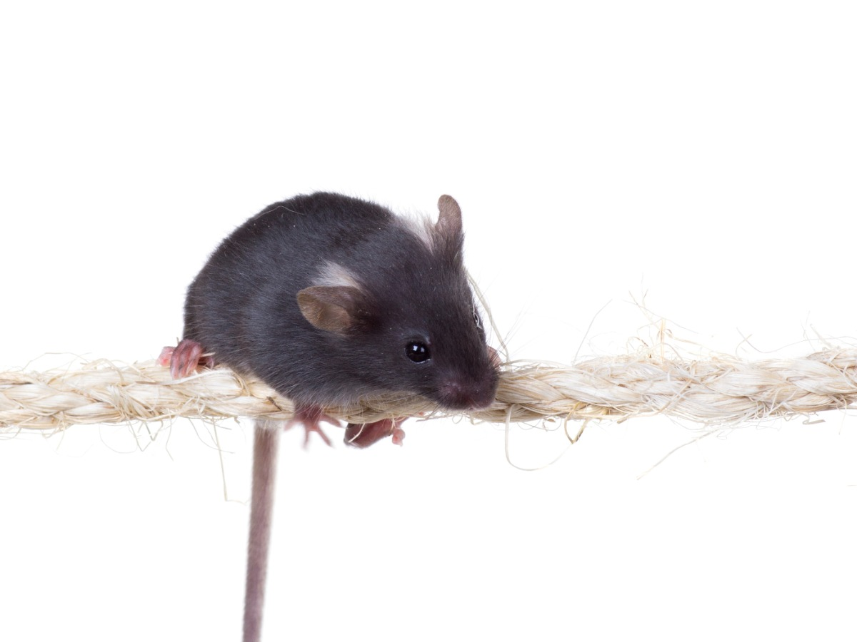 brown mouse on a rope