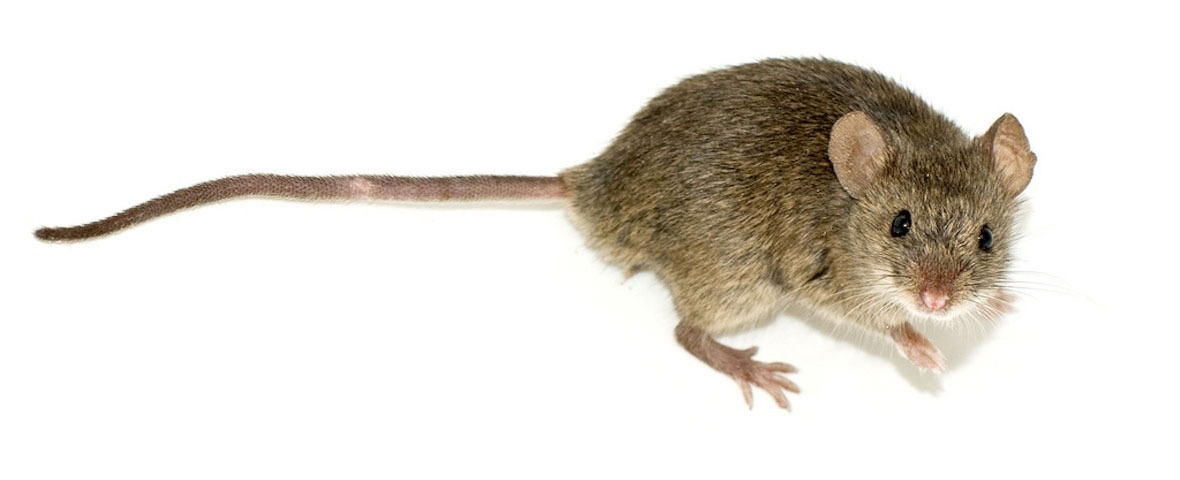 Brown mouse white background