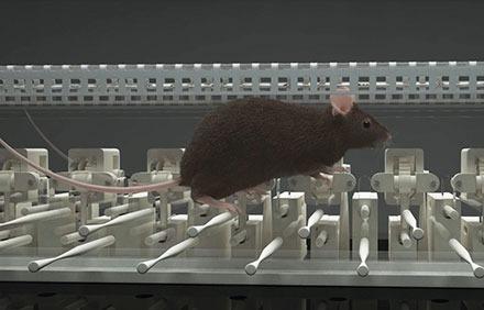 ErasmusLadder missteps mouse 3