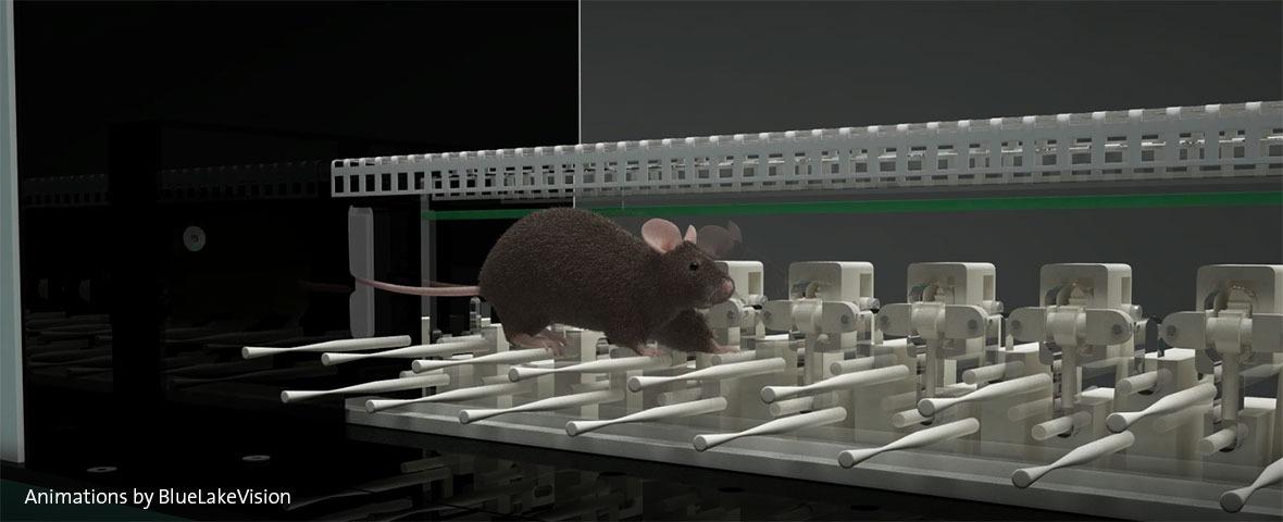 ErasmusLadder with black rat