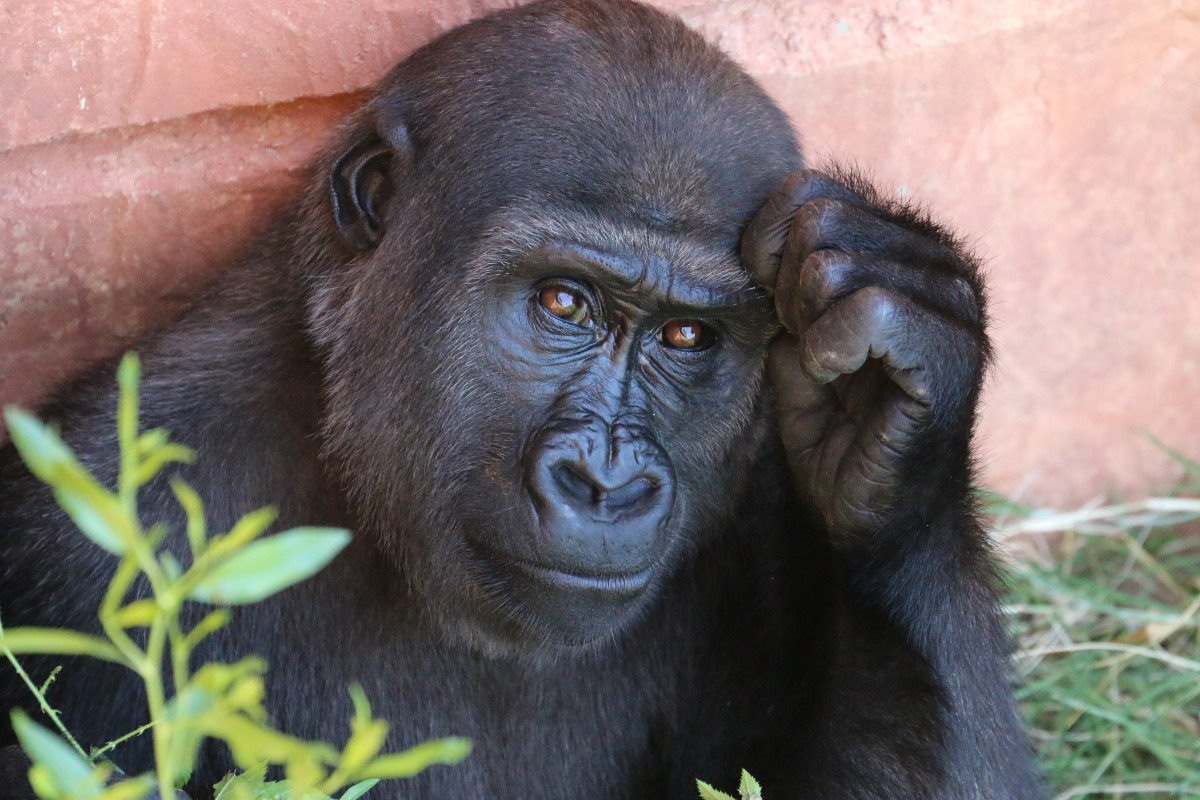 Gorilla thinking ape monkey