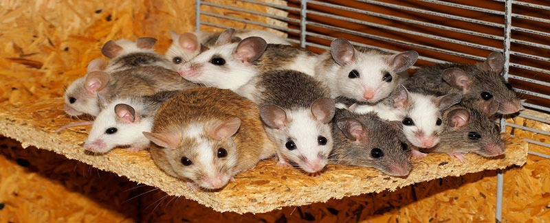 group of mice in a wooden cage