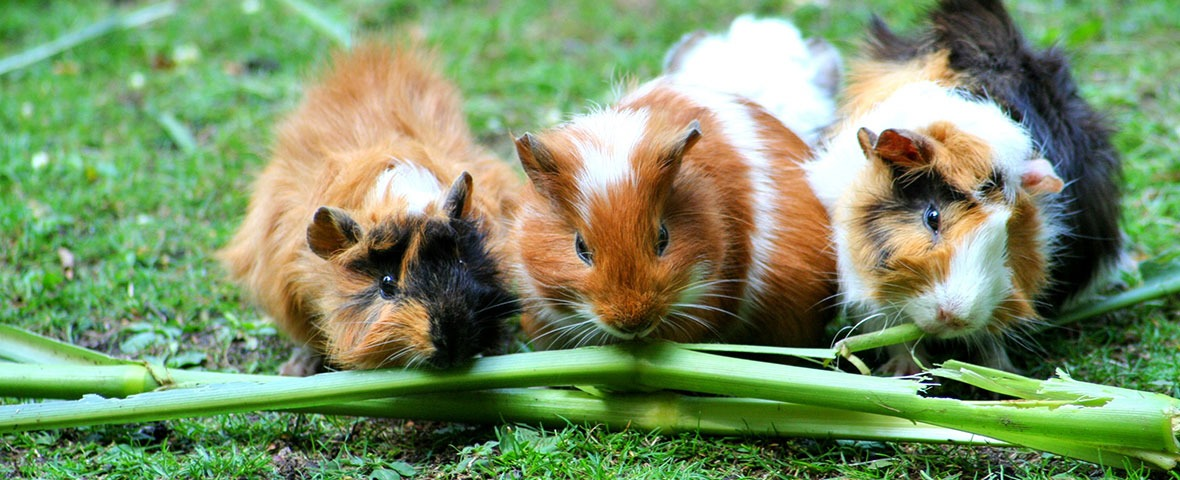 Guinea pigs on grass