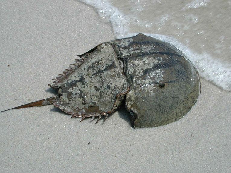 horseshoe crab sand water