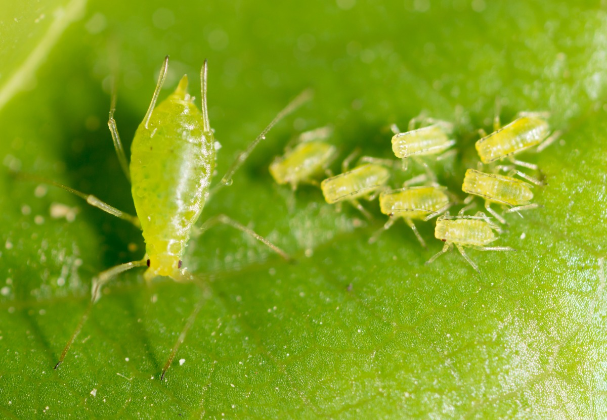 many aphids on a leaf