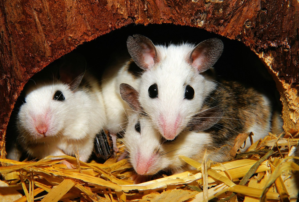 Mastomys three mouse white brown sitting