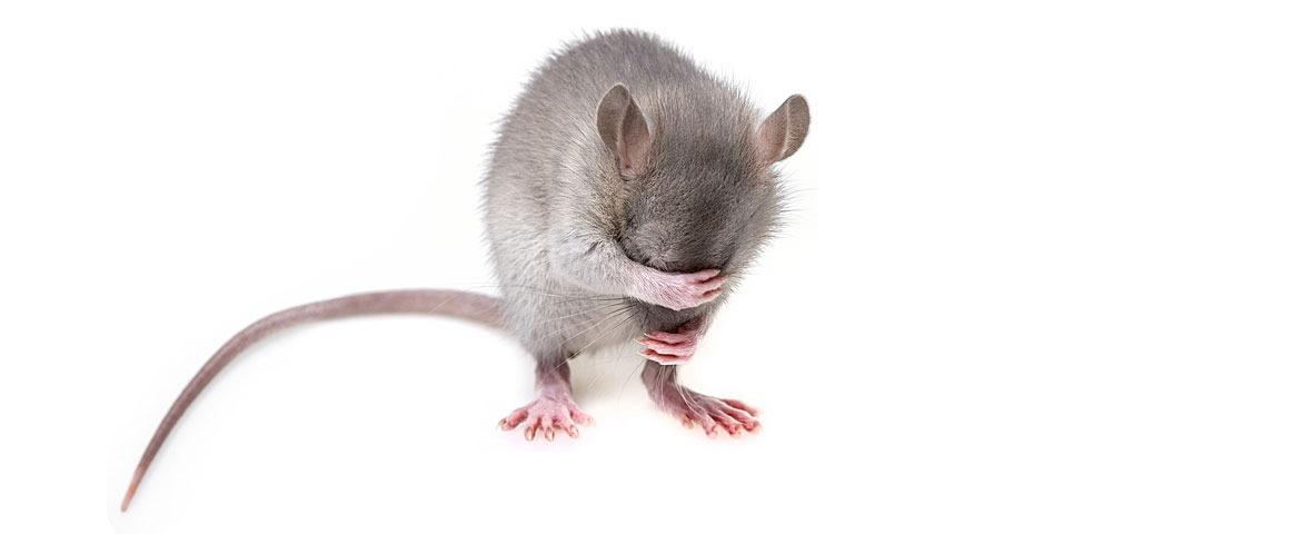 Mouse covering eyes ashamed grey white background