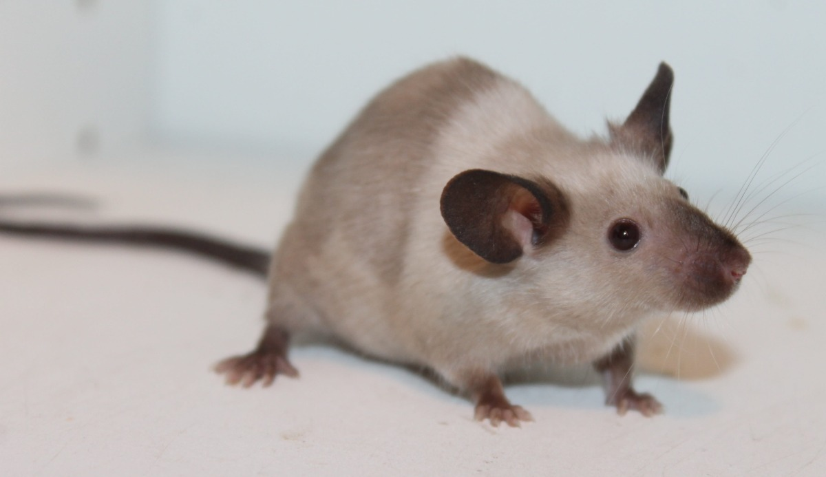 mouse siamese rodent