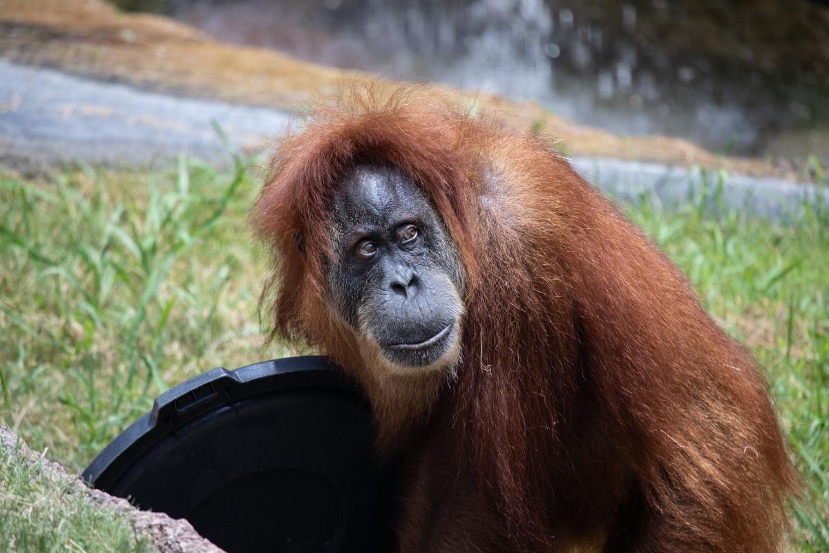 Orang utang monkey ape food