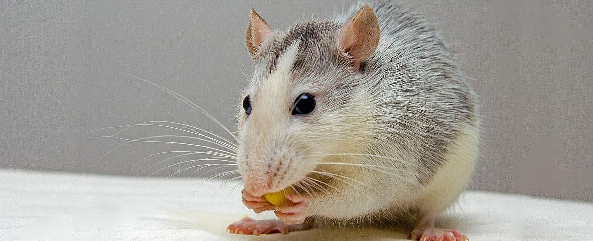Rat eating grey white
