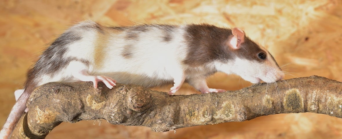 Rat on a branch walking tree