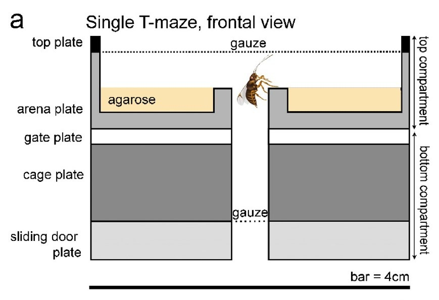 single T-maze-EntoLab