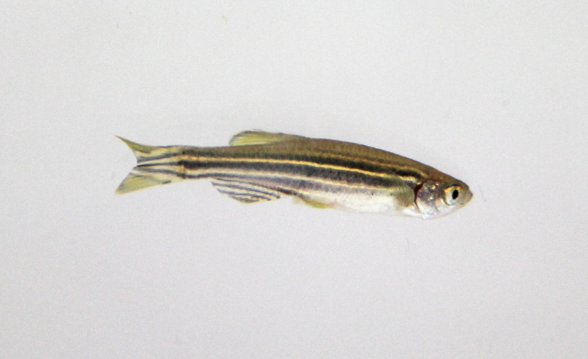 single zebrafish