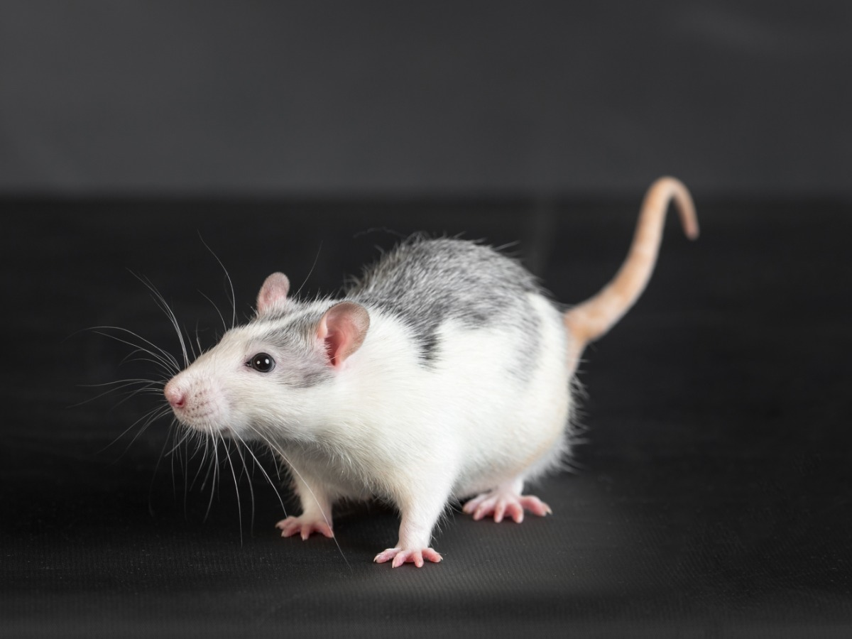 spotted rat on a black background